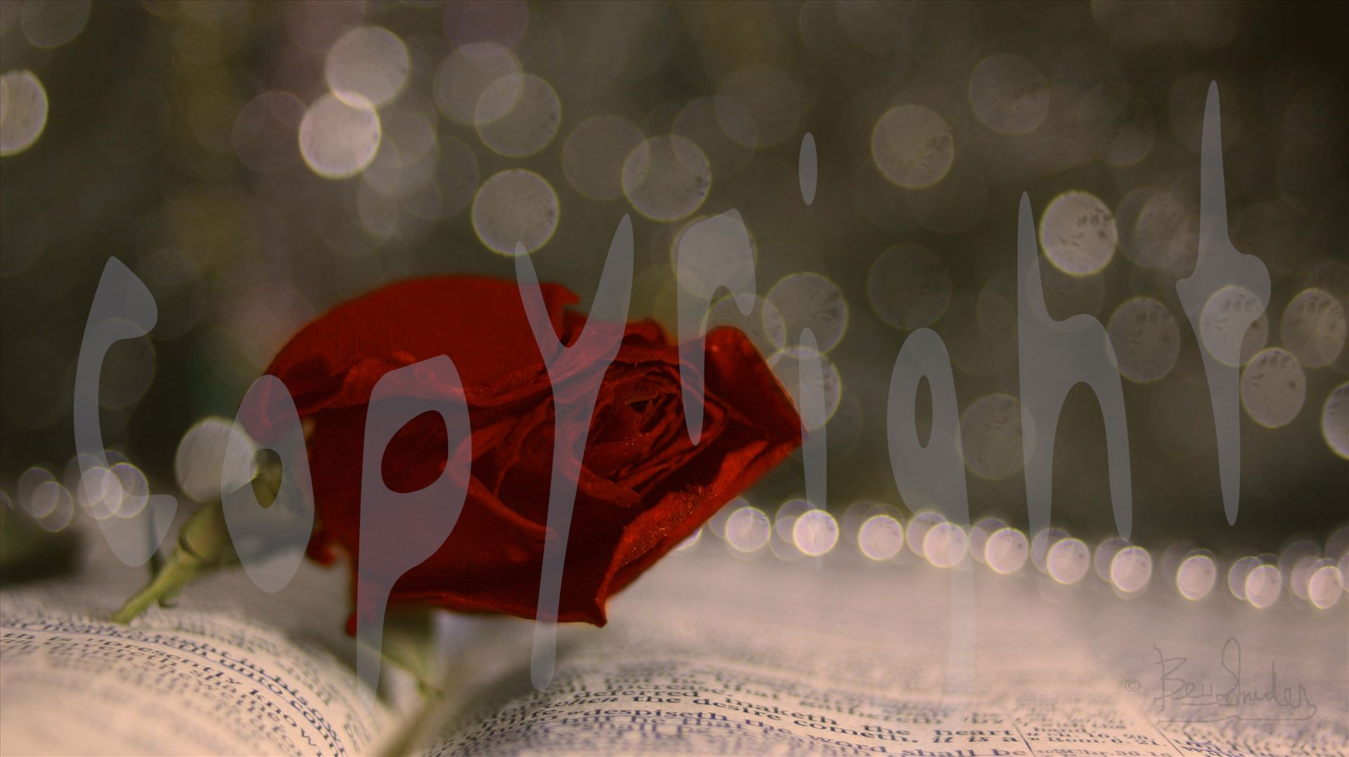 Red Rose 0992 - Red Rose on Bible with Bokeh by Snookies Place of Wildlife and Nature