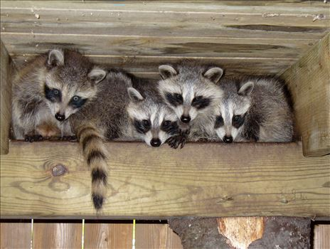 A bunch of masked mischievous raccoons in the rafters