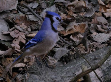 A vividly colored wild blue jay in dead leaves