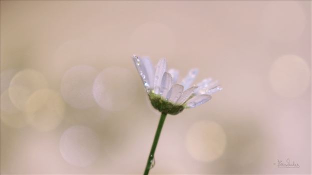 Preview of Single White Daisy 8903jpeglg.jpg