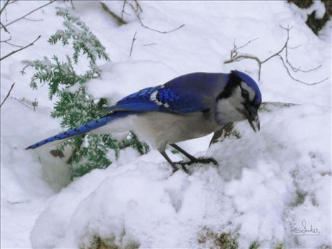 A vividly colored wild blue jay in winter snow