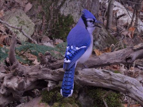 A vividly colored wild blue jay on drift wood
