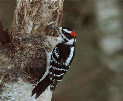 Woodpeckers Male Downy in the Wild on Trees Bushes - An album of wild male downy woodpeckers