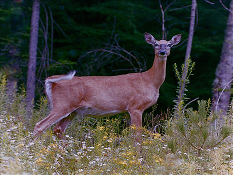 Deer 10 - A White tailed Deer surrounded by wildflowers gazes at the camera