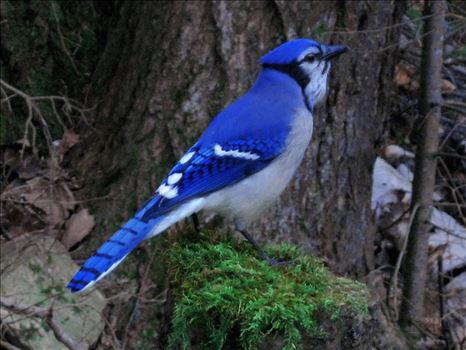 Preview of Blue Jay Wild 0744