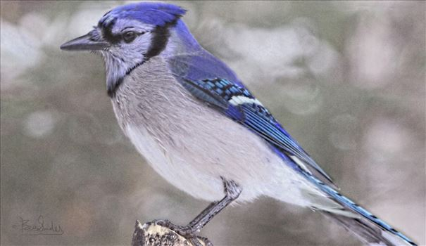 Blue Jays Birds of the wild flying sitting perched - Bev Snider Photography, Fine art, Fine Art Prints, Photos, Photograpy, Paintings, Digital Art, Paintings, watercolors, art, originals,guache,wildlife paintings, nature paintings, Blue Jays,