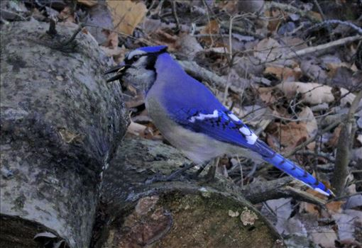 A vividly colored wild blue jay on tree trunk