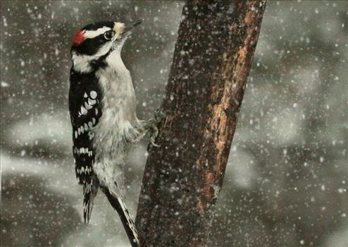 A male downy woodpecker in a snowfall